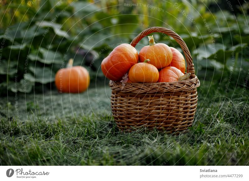 A basket with freshly picked pumpkins is placed on the edge of the garden. Harvest time, Halloween, autumn vegetable vegetables holiday symbols ecofood organic