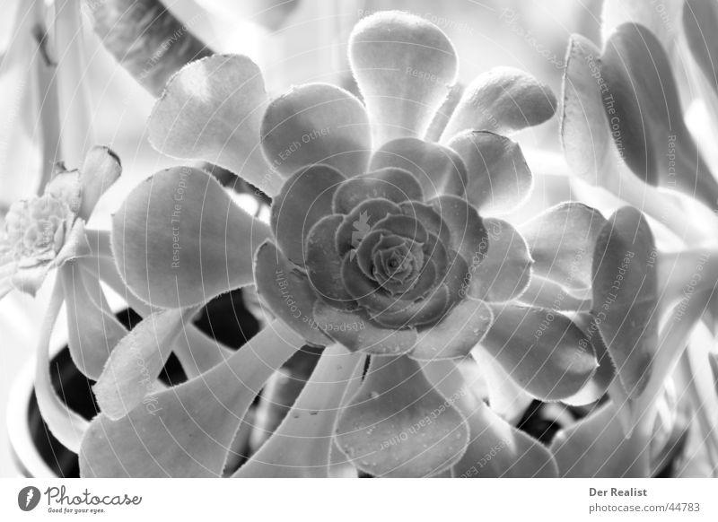 Flower #2 Black White Multiple Appealing Black & white photo Detail