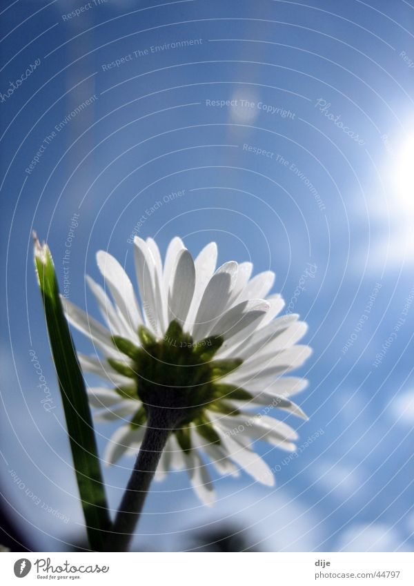 Towards the sun! Meadow Daisy Clouds Grass Blade of grass Spring day Growth Flower Under Sun Blue Sky Blossoming