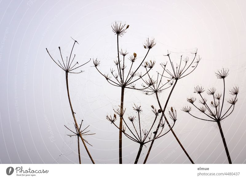 Between the woody, bare stems of a wild carrot - plant hang barely visible with dew wet spider threads / autumn Wild carrot Plant lignified Daucus carota