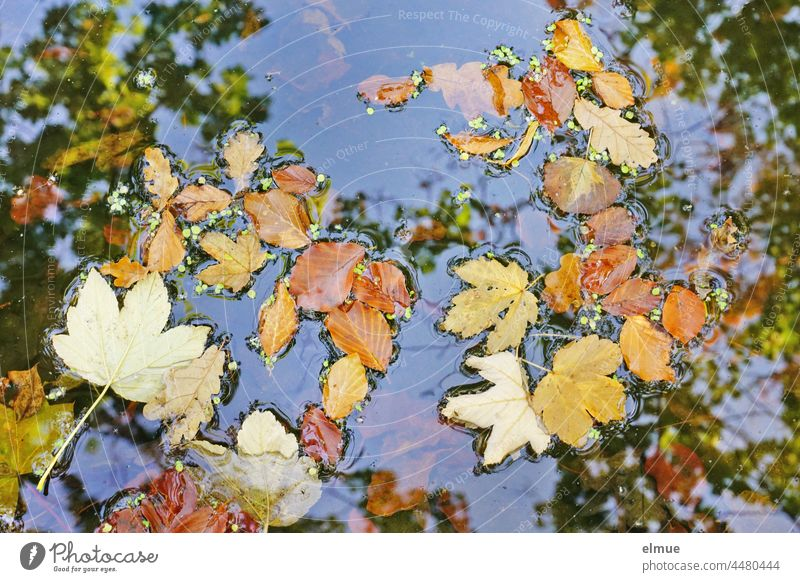 Autumn leaves of maple, oak and beech lie on the blue water, in which also treetops are reflected - top view / autumn Leaf Maple tree Maple leaf Oak tree