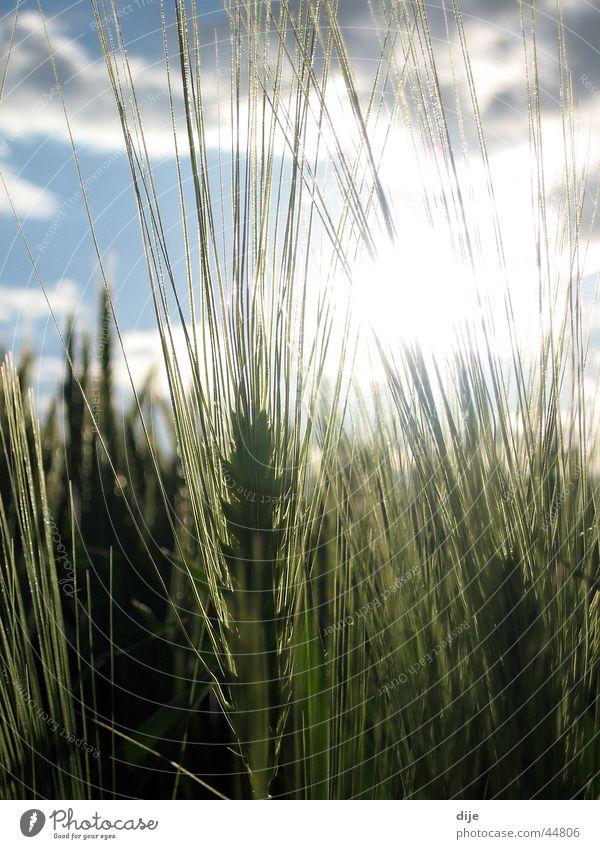 Winter barley in the afternoon sun Barley Field Clouds Sunbeam Barleyfield Sky Blue