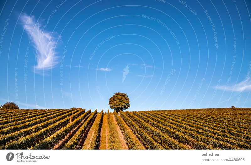 federweisser Lanes & trails Wine growing Rhineland-Palatinate Sunlight tranquillity Idyll vine Colour photo Sky Vineyard Bunch of grapes Exterior shot Landscape