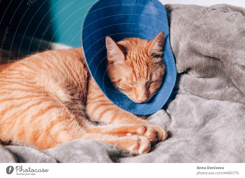 Cute ginger cat sleeps in collar after surgery cute relax bed pet orange cat home play cozy puss cones shame collar neutered companion recovery comfort house