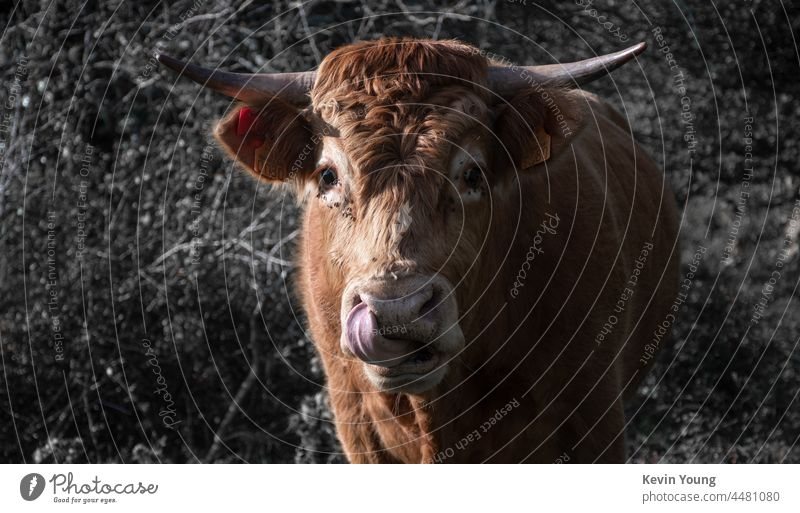 a bull putting the tounge inside the nose Bull Animal Animal portrait toungue out Nose Nature Exterior shot Animal face Farm animal Agriculture