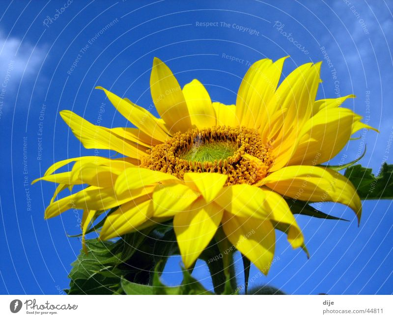 Sky Flower Green Blue Summer Leaf Clouds Yellow Blossoming Sunflower