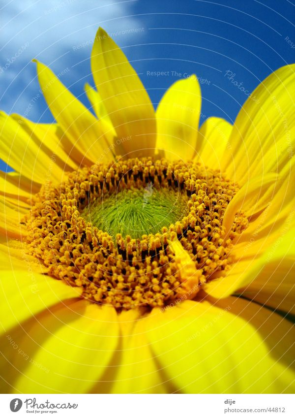 Sunflower detail Summer Flower Yellow Green Clouds Leaf Blue bloom Blossoming Detail Sky