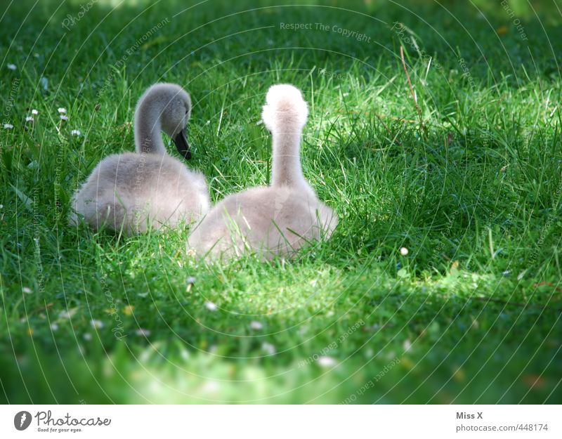 chick Spring Grass Meadow Animal Wild animal Bird 2 Baby animal Sit Cute Emotions Moody Friendship Together ugly duckling Swan Brothers and sisters