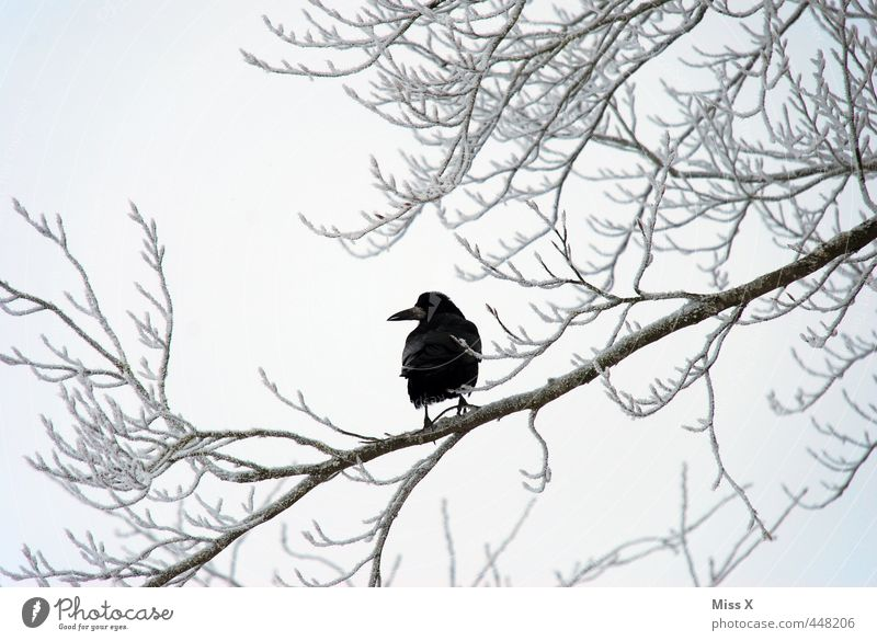 Winter Crow Bad weather Ice Frost Snow Tree Wild animal Bird 1 Animal Gloomy Black Moody Grief Death Winter's day Winter mood Raven birds Carrion crow