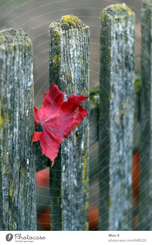 Autumn is here Leaf Garden Red Autumnal colours Colour Wooden board Fence Wooden fence Fence post Maple leaf Autumn leaves Early fall Colour photo Multicoloured