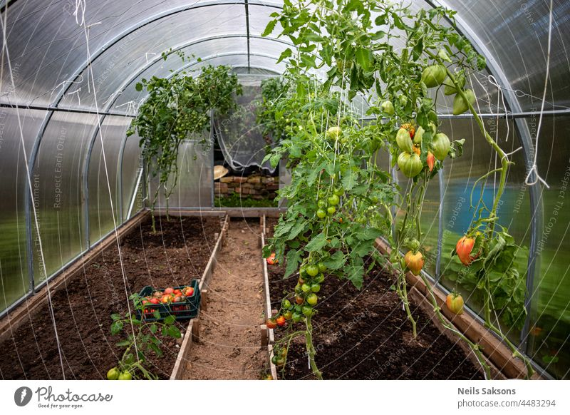 Tomatoes of varying ripeness grow in a polycarbonate greenhouse. Growing organic tomatoes on beds . Tomatoes on a branch close-up. agriculture bunch bush
