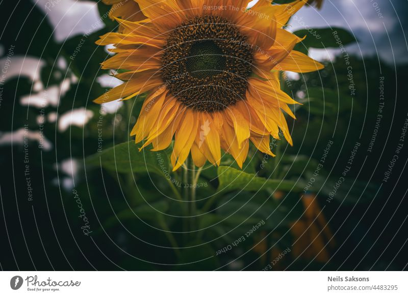 looking in the eye agriculture beautiful flowers beautiful-sunflower beauty blooming blossom blue bright cheerfulness clear closeup-sunflower colorful-sunflower