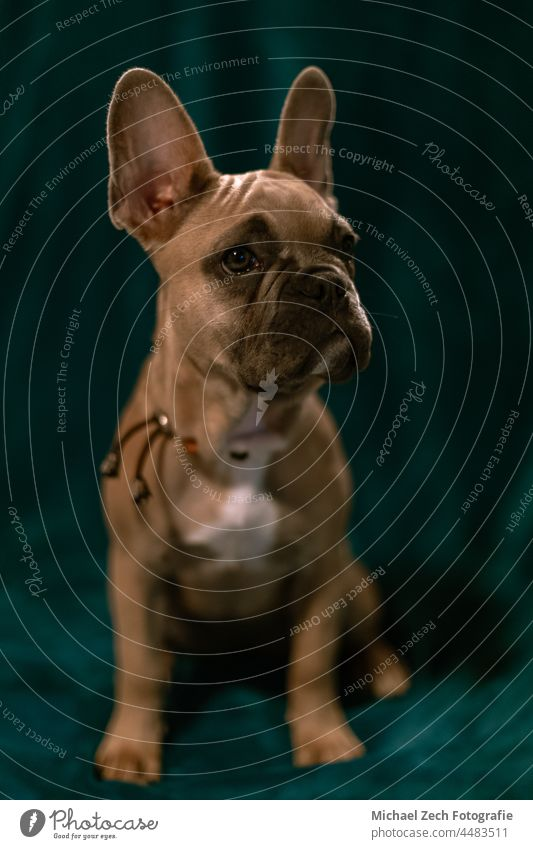 French bulldog with plain background animal pet french white domestic ears breed portrait funny cute young adorable looking puppy brown carnivore canine