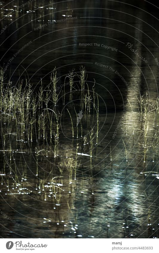 Reed grasses in the water Water reed grass Aquatic plant somber Pond Lake Reflection Calm Plant Nature Surface of water Lakeside Water reflection Shaft of light