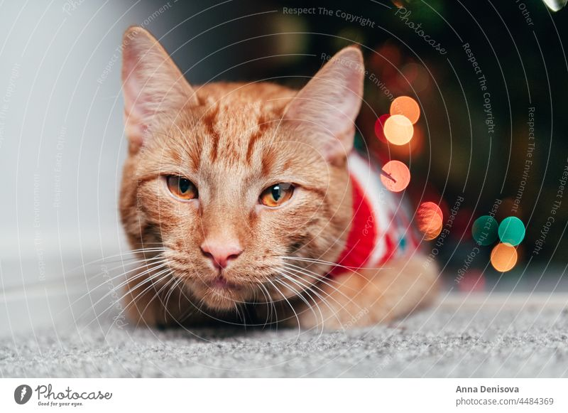 Cute ginger cat in xmas jumper christmas holiday kitten new year ugly sweater seasonal december santa happy merry red accessory relax sits sofa pet manx