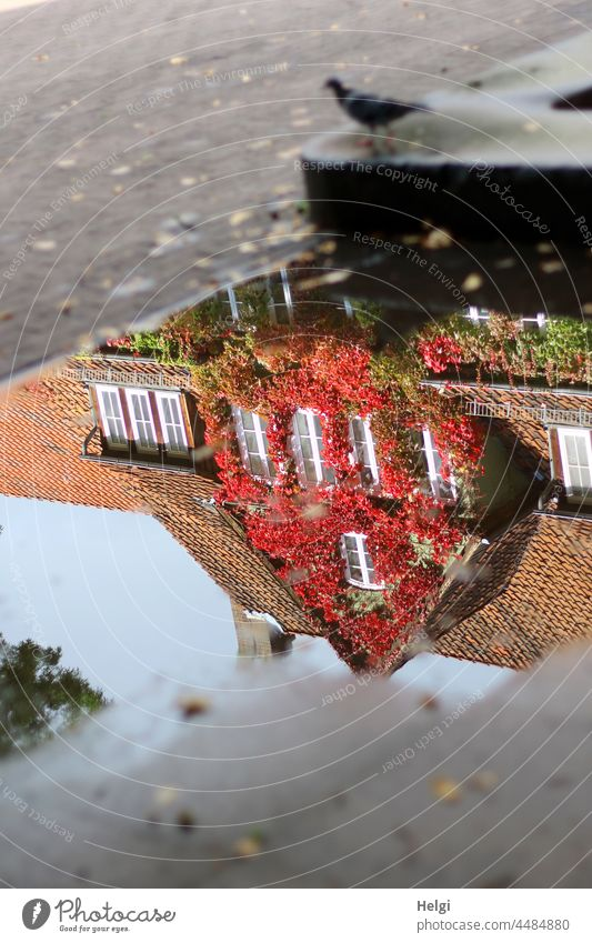 Autumn in the puddle - house overgrown with autumn wild vine reflected in a puddle reflection Puddle House (Residential Structure) Building Vine