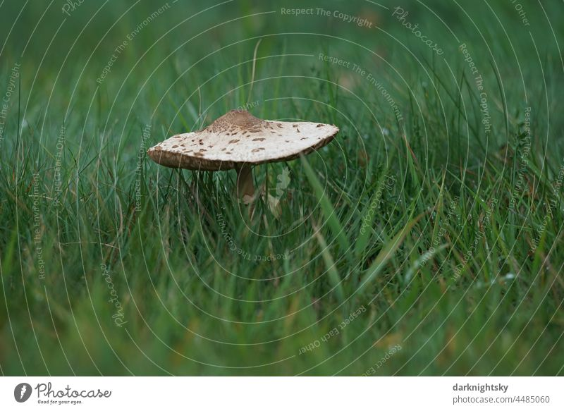 Macrolepiota procera, giant porling in a meadow with beautiful gradient of blurring medicinal plant shamanic remedies antibiotics traditionally Plant Tree