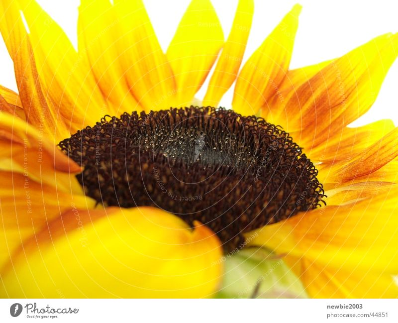 Flower Yellow Sunflower