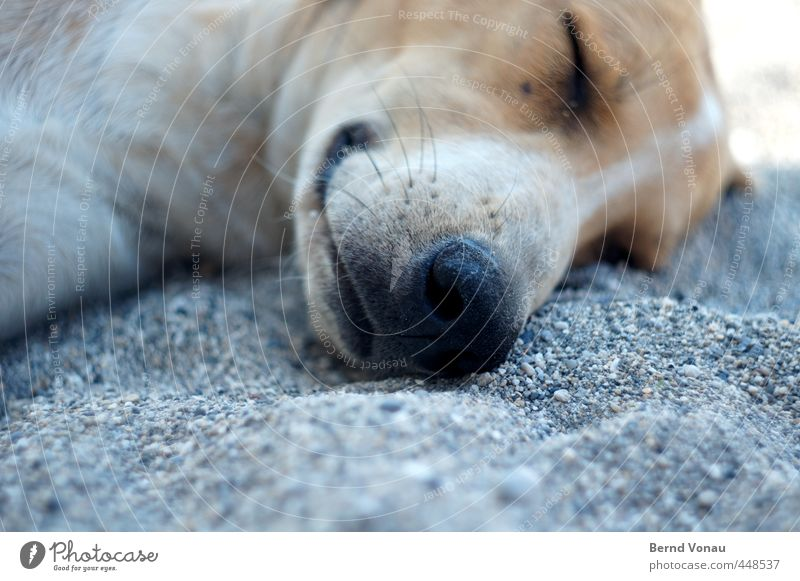 Greek beach dog Animal Dog Animal face dog's nose Relaxation Sleep Lie Brown Beach Gravel beach Pebble Gray White stray Restful Sun Summer Vacation & Travel