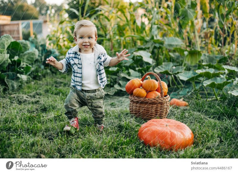 A cheerful kid in a plaid shirt runs through the vegetable garden, arms outstretched, there is a basket of pumpkins next to him. Preparation for the holiday, harvest, Halloween