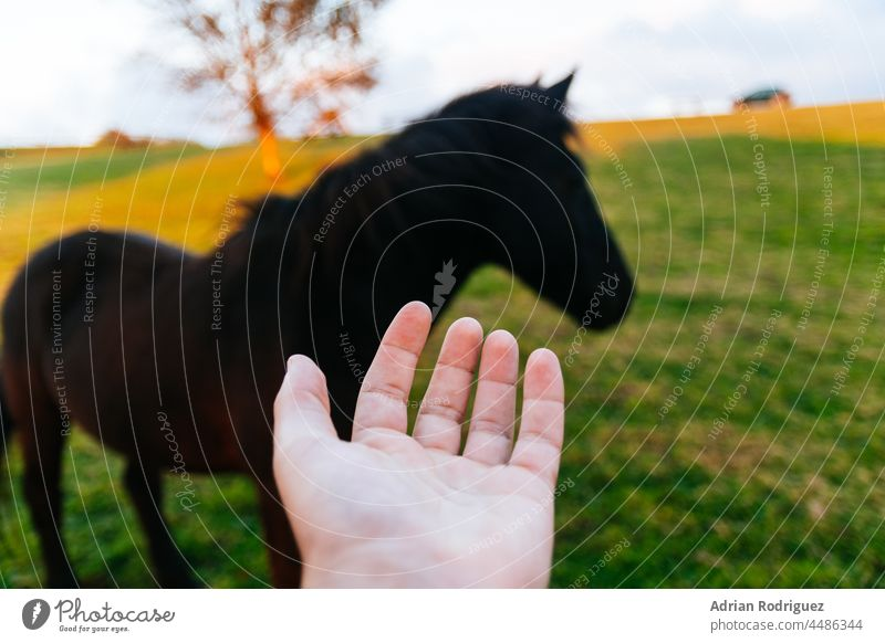 Concept of caring for and respecting animals. A hand and black horse in the background concept meadow mammal free standing wildlife domestic pasture rural