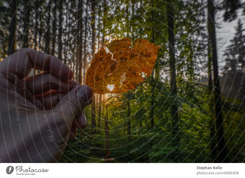 Sunlight is shining through a heart shape in a autumn colored leaf. Concept for the beautiful fall season and all nature lovers. sunstar forest idyllic hand
