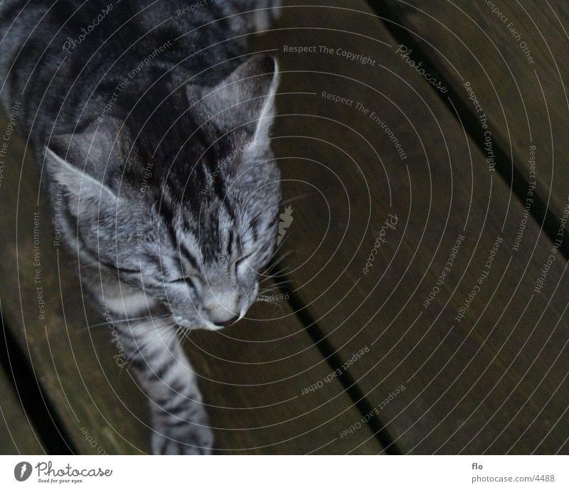 Sleeping Cat Animal Gray tieger