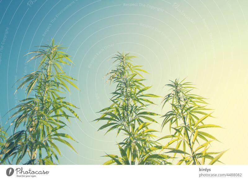 Cannabis. Hemp plants with blue sky in pop colors. THC, hemp cultivation thc Outdoor cultivation Alternative medicine Marijuana Intoxicant Plant cbd narcotic