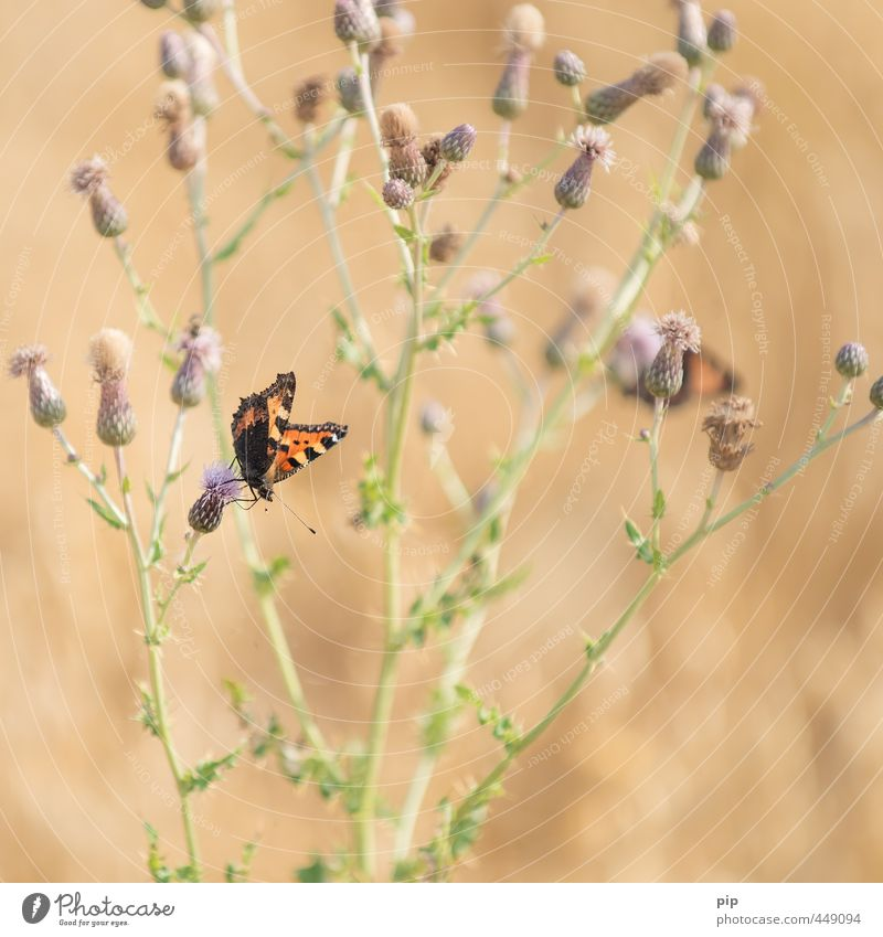 Summer Plant Animal Environment Orange Dish Field Beautiful weather Wing Insect Butterfly Bud Herbaceous plants Wild plant Thistle Small tortoiseshell