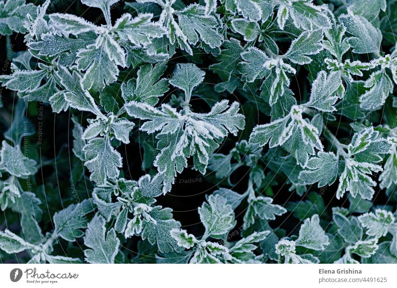 Frozen branches of chrysanthemum. Green leaves covered with morning frost. Top view. Closeup. green garden hoarfrost leaf beautiful season autumn cold winter