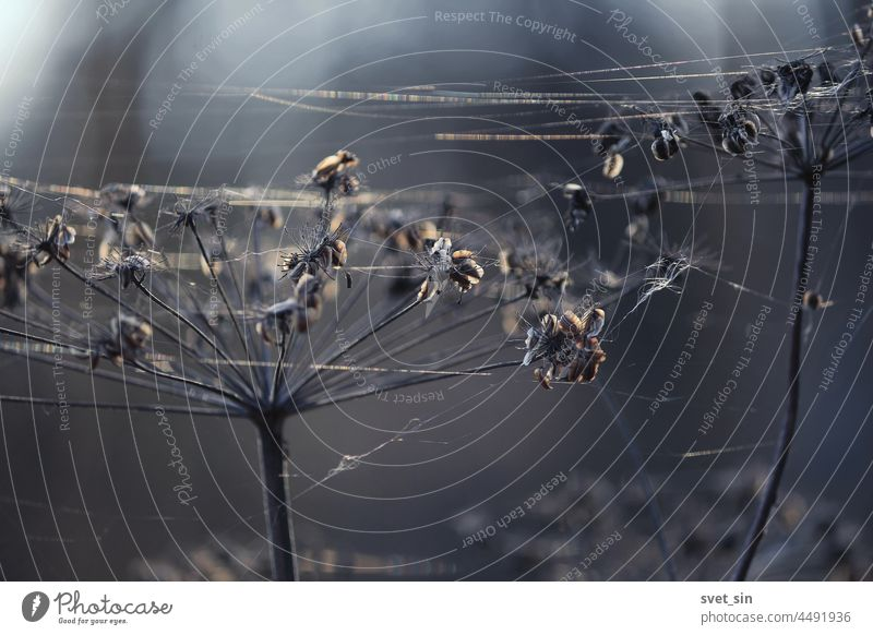 Heads of dry umbrella plants and spider webs in the cold blue light of an autumn morning. head seeds abstract background background abstract beautiful beauty