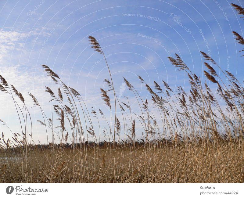 reed belt Common Reed Boddenlandscape NP Landscape Mecklenburg-Western Pomerania Sky