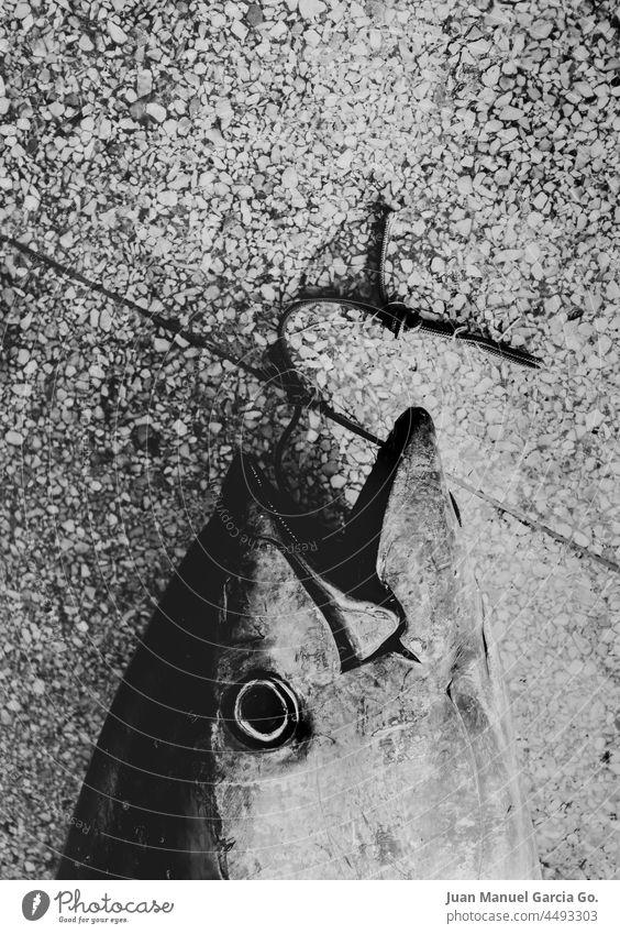 Freshly caught tuna and exhibited in the fish market triumph pride despair end pain struggle death achievement commerce gaze sacrifice trophy compassion