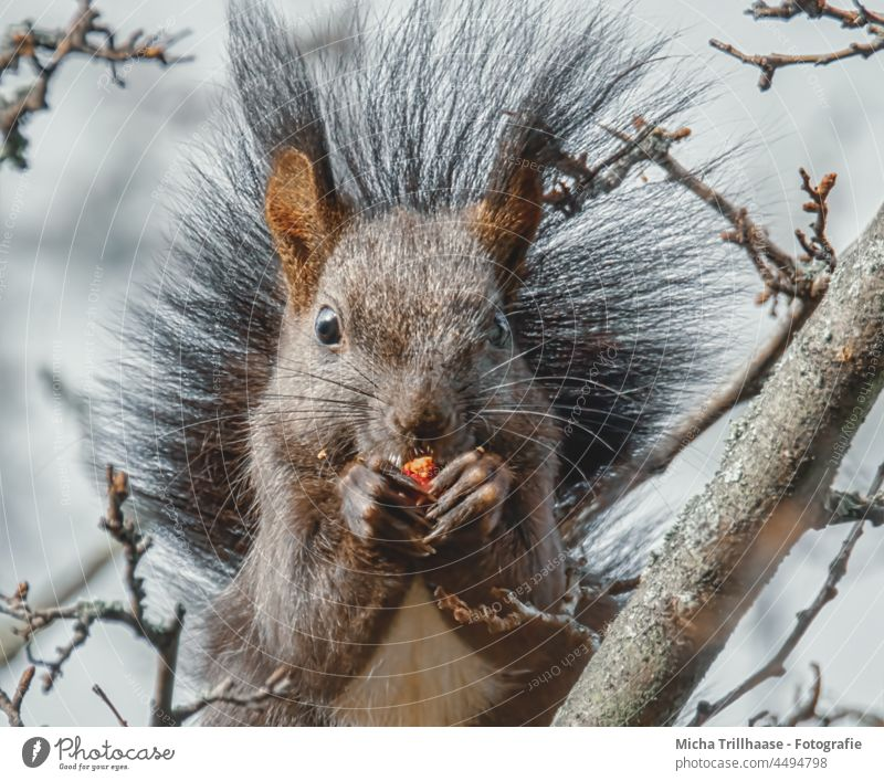 Eating squirrel in a tree Squirrel sciurus vulgaris Animal face Head Eyes Nose Ear Paw Claw Pelt Wild animal To feed To hold on Near Cute Tree