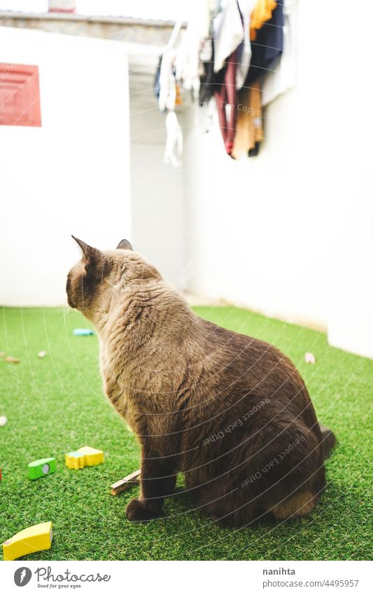 Siamese cat enjoying the day on the backyard grass home free siamese pet adorable love family life lifestyle fun funny relax relaxing leisure cat life courtyard