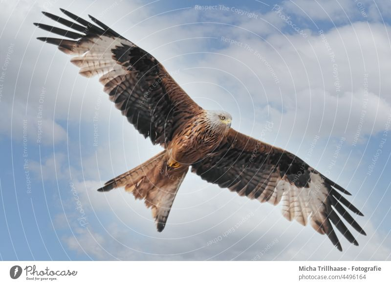 Flying red kite Red Kite Red kite milvus milvus Bird of prey Bird in flight Head Beak Eyes Grand piano plumage feathers Wing span flapping Sky Clouds Sun