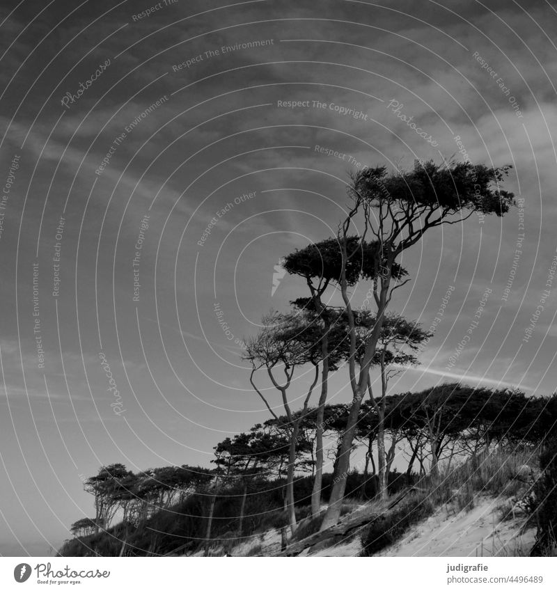 Wind chaser on the west beach Wind cripple pines trees Forest Beach Western Beach Baltic Sea coast Nature Landscape Darss Tree Environment naturally Wild duene