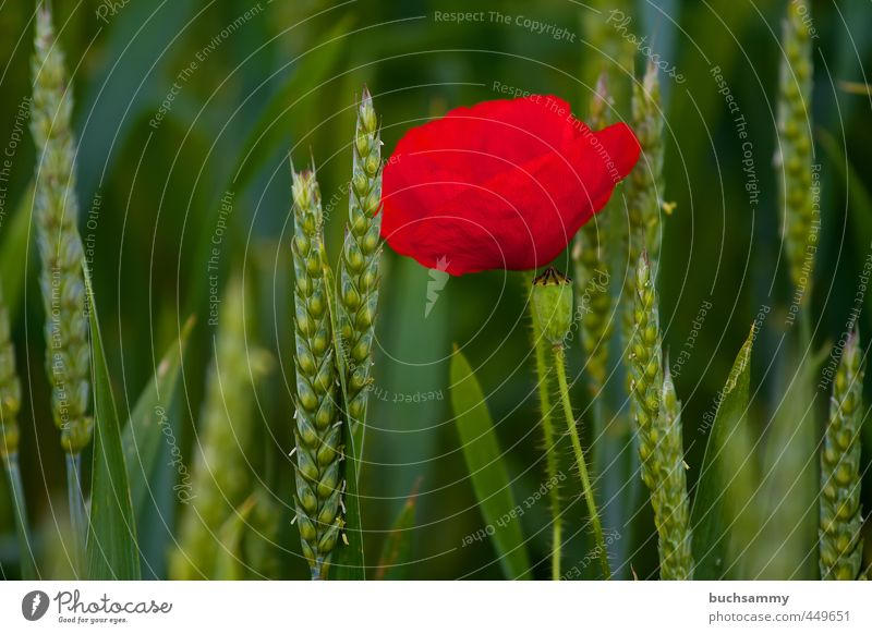 Poppy flower in cornfield Summer Plant Animal Flower Field Green Red Loneliness June Grain Wheat Colour photo Exterior shot Deserted Copy Space left