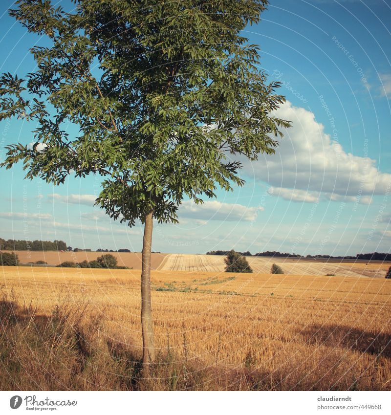 Altmark Environment Nature Landscape Plant Sky Clouds Horizon Summer Beautiful weather Tree Agricultural crop Ash-tree Field Germany Warmth Blue Gold