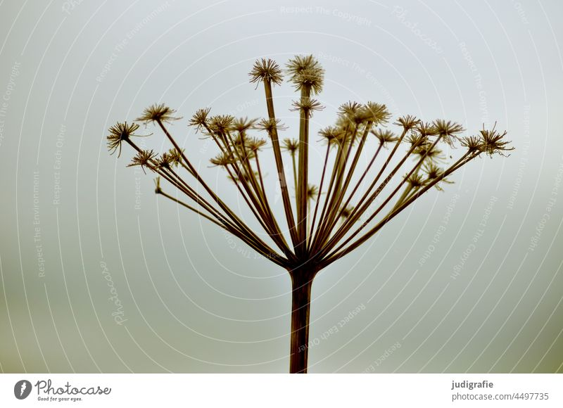 Umbel in autumn Apiaceae umbel Plant Blossom Nature inflorescence Crown Faded fade Autumn Autumnal Meadow Dry Shriveled Radial Round Wreath annular naturally