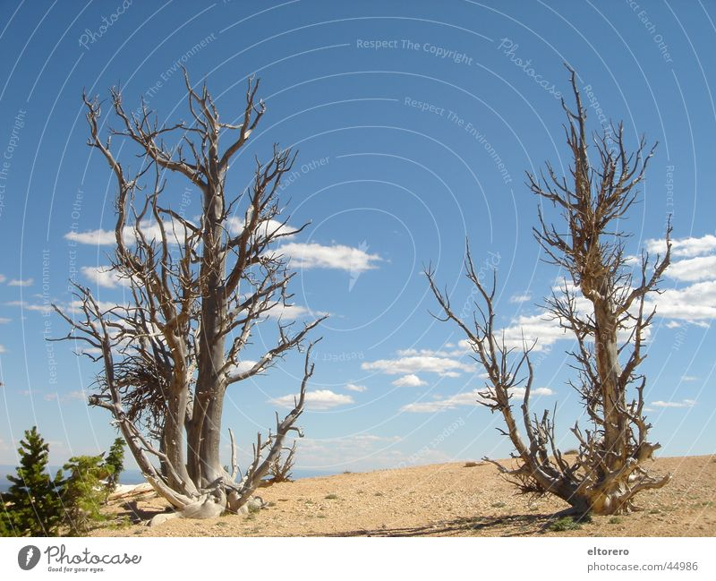 Bristlecone Pines National Park Stone pine Tree Clouds Bryce Canoyn Thin Branch Sky