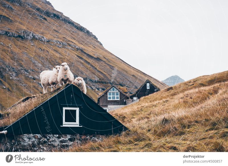 Sheep on a house roof on the Faroe Islands II traditionally Outdoors spectacular rocky naturally harmony Weather Rock Hill Environment Rural highlands