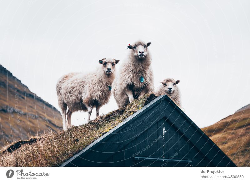 Sheep on a house roof on the Faroe Islands I traditionally Outdoors spectacular rocky naturally harmony Weather Rock Hill Environment Rural highlands