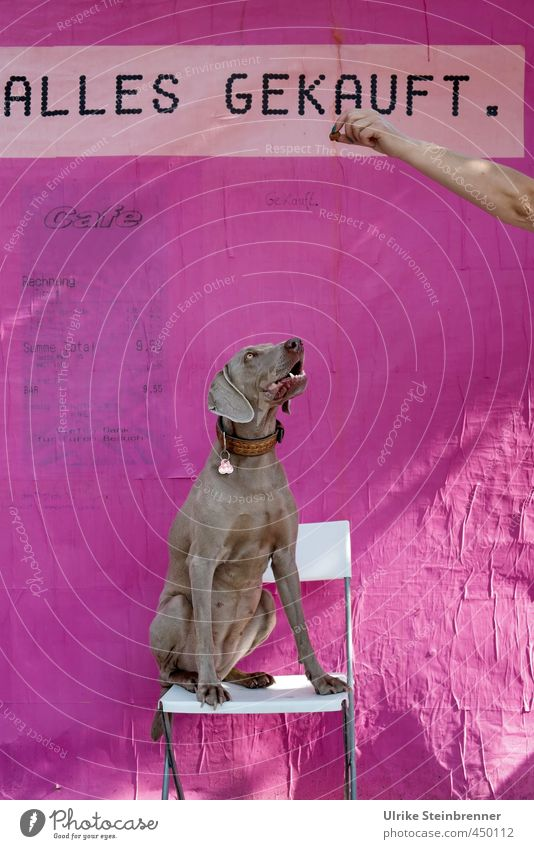 Anything! Chair Wallpaper Human being Woman Adults Arm Hand 1 Animal Pet Dog Weimaraner Plastic Looking Wait Pink Anticipation Disciplined Curiosity Colour