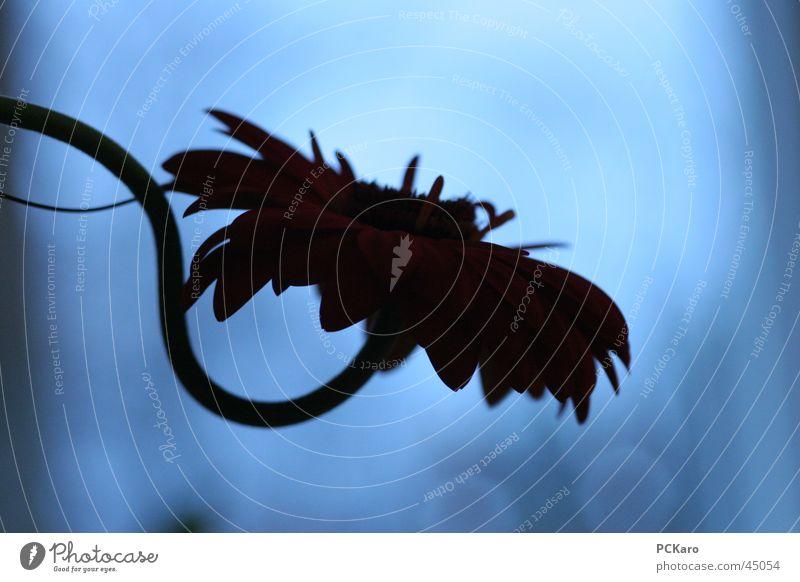 Night. Gerbera Twilight Flower Plant Blue Death Life Power Fight