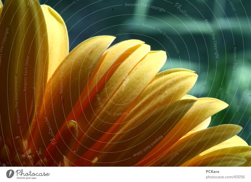Nature Green Sun Flower Colour Yellow Window Orange Romance Row Gerbera Poetic