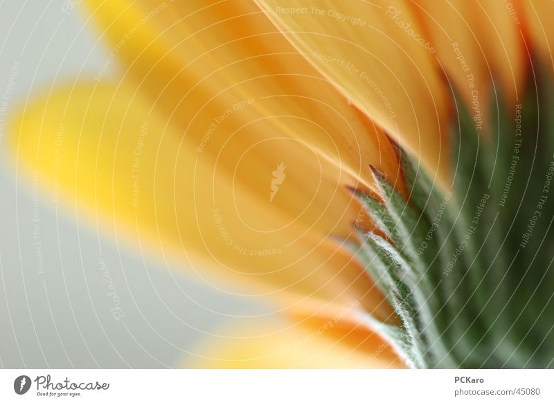 Flower Green Yellow Blossom Romance Soft Delicate Gerbera Flower stalk