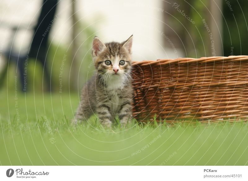 Playing Cat Wait Sweet Observe Basket Domestic cat