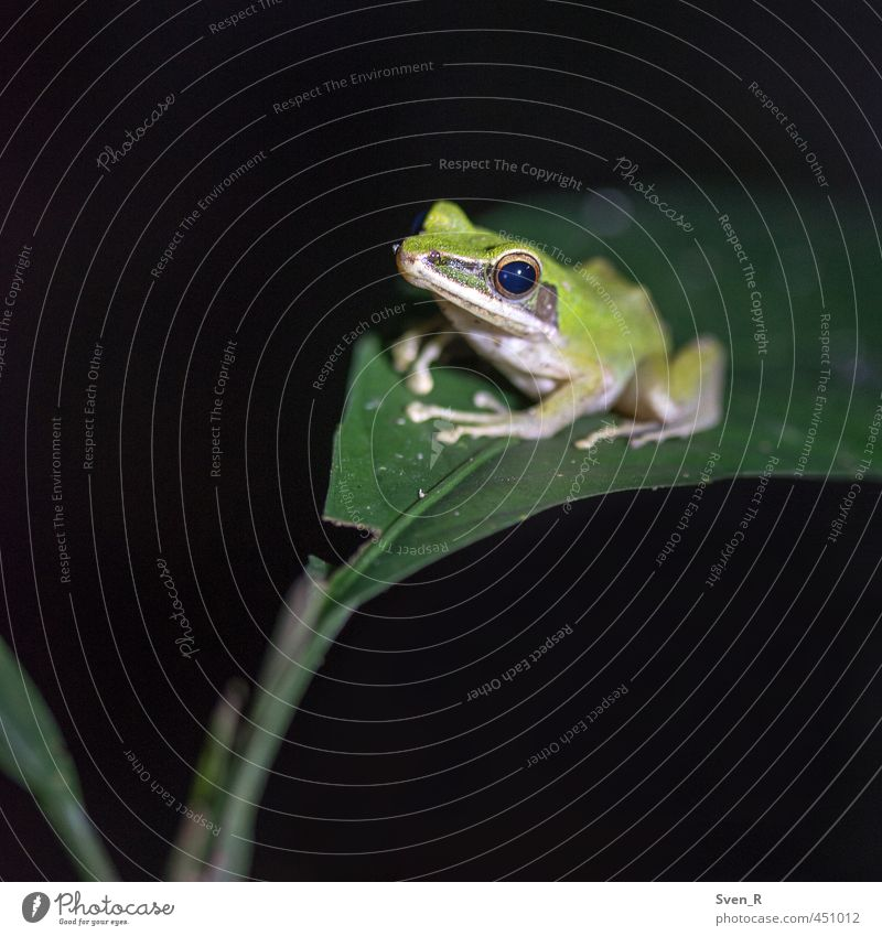 The Frog King Nature Wild animal 1 Animal Observe Sit Cute Green Peaceful Colour photo Close-up Copy Space left Copy Space bottom Night Artificial light