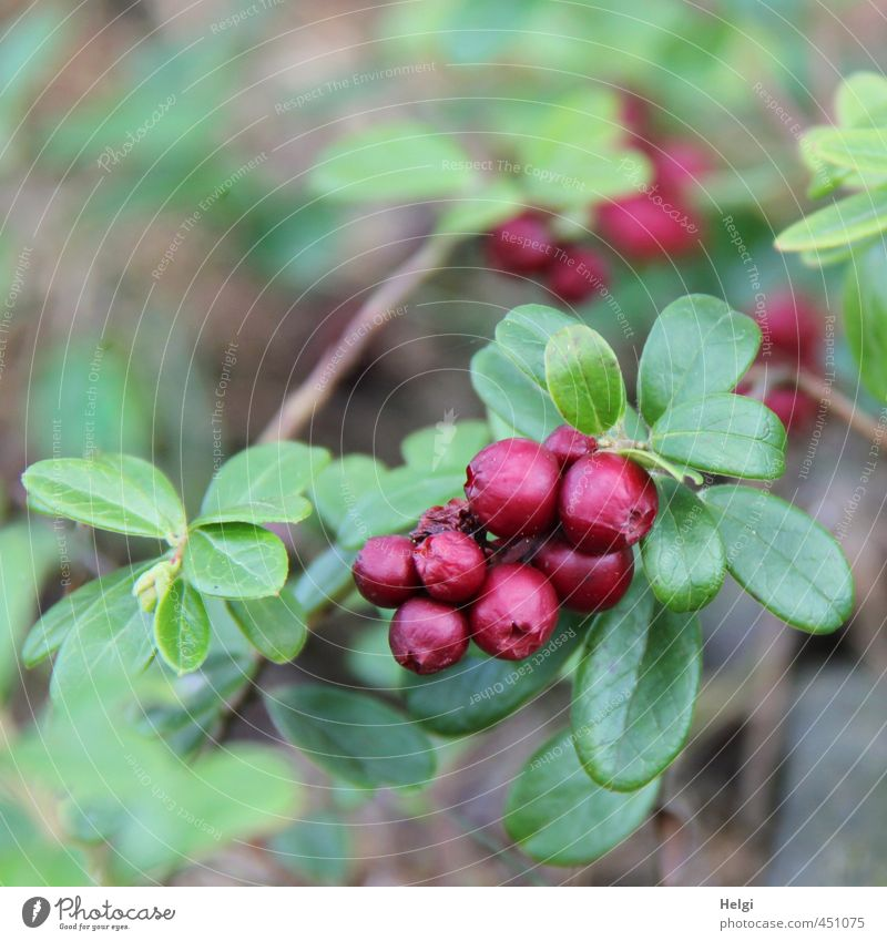 wild berry Fruit Cowberry Environment Nature Summer Plant Bushes Leaf Wild plant Forest Growth Esthetic Authentic Healthy Small Natural Round Brown Green Red